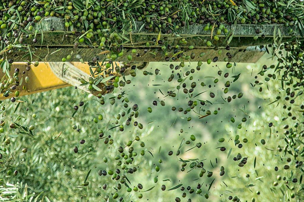 Fotografía corporativa para marca de aceite de oliva virgen extra en la cosecha de la aceituna